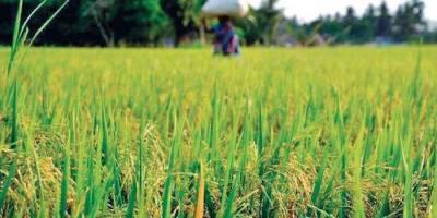 area-covered-under-rice-oilseeds-increased-this-kharif-season-says-agri-ministry-data-english.jpeg
