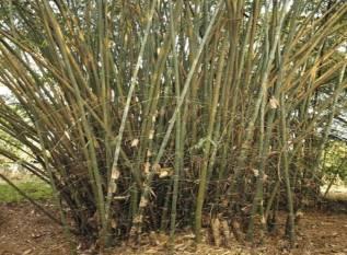 bamboo-tribal-farmers-income-to-increase-via-kvics-unique-bold-project-english.jpeg