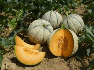 basf-to-acquire-innovative-melon-breeding-company-asl-english.jpeg
