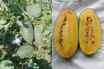 bayer-brings-yellow-gold-48-watermelon-variety-in-india-english.jpeg
