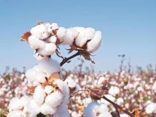 bt-cotton-only-gm-crop-approved-for-commercial-cultivation-in-2002-by-govt-agri-minister-english.jpeg