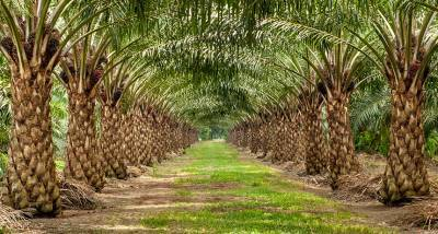 cabinet-approves-implementation-of-national-mission-on-oil-palm-english.jpeg