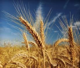 cabinet-approves-rabi-crops-msp-for-marketing-season-2021-22-hindi.jpeg