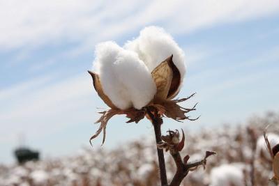 cai-estimates-cotton-crop-at-36-5-mn-for-2017-18-season-english.jpeg