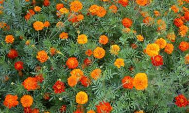 cultivation-processing-of-aromatic-plants-doubles-incomes-of-farmers-in-himachal-english.jpeg