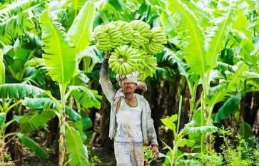 gi-certified-jalgaon-banana-exported-to-dubai-english.jpeg