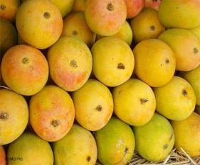 gi-certified-jardalu-mangoes-first-commercial-consignment-exported-to-united-kingdom-english.jpeg