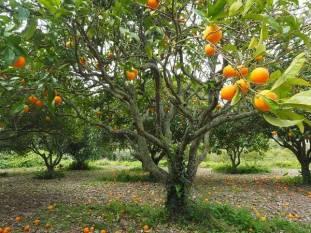 govt-estimates-63-97-lakh-tonnes-of-oranges-production-during-2019-20-marathi.jpeg