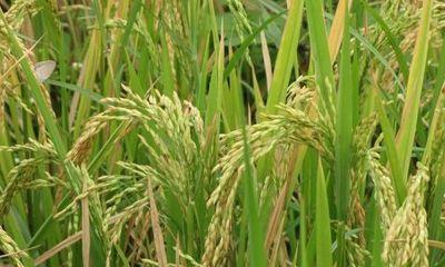 india-releases-first-advance-estimates-of-production-of-major-kharif-crops-for-2019-20-english.jpeg