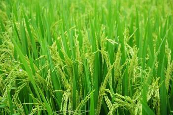 india-rsquo-s-kharif-crop-sowing-touches-13-13-million-hectares-hindi.jpeg