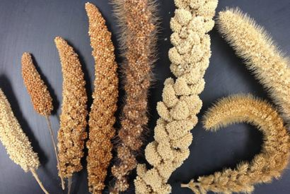 india-sends-proposal-to-united-nations-for-declaring-the-year-2018-as-international-year-of-millets-english.jpeg
