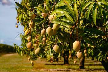 india-shipped-a-consignment-of-2-5-mt-of-mangoes-to-south-korea-english.jpeg