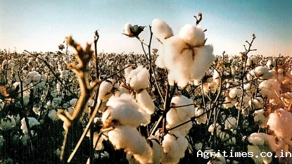 Indian cultivation of BT cotton crops estimated at 32.26 MN bales during 201-20