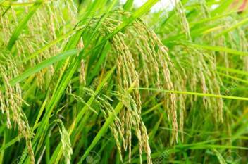 indian-researchers-find-a-new-possibility-to-improve-rice-productivity-english.jpeg