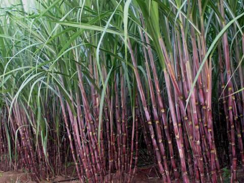 indian-sugar-acreage-to-drop-by-5-during-2016-17-english.jpeg