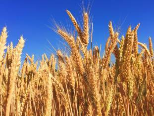 indian-wheat-harvesting-continues-briskly-amidst-the-lockdown-english.jpeg