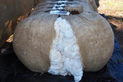 indias-cotton-output-for-february-2017-estimate-at-34-1-mn-bales-english.jpeg