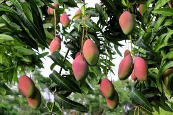 indias-export-footprint-expands-gi-certified-mango-shipped-to-bahrain-english.jpeg