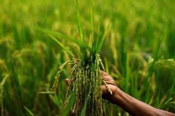 indias-kharif-crops-sowing-acreage-touches-1116-88-lakh-ha-area-during-current-season-english.jpeg