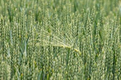 indias-rabi-crops-sowing-crosess-32-7-mn-hectares-english.jpeg