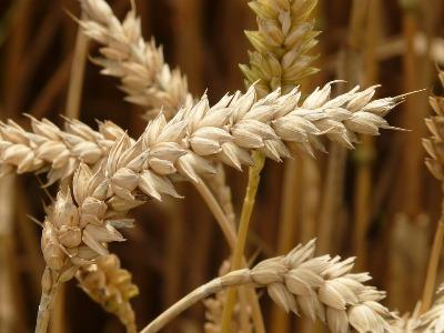 indias-rabi-crops-sowing-touches-62-8-mn-hectares-english.jpeg