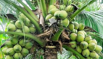 indias-records-increase-in-coconut-cultivation-in-the-last-four-years-english.jpeg