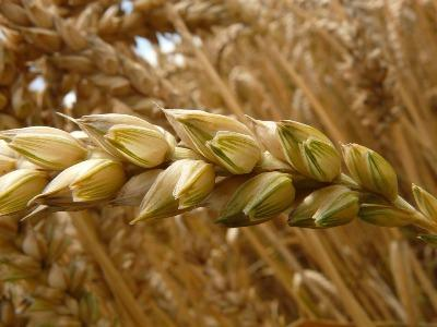 indias-wheat-pulses-registers-record-sowing-in-rabi-season-english.jpeg