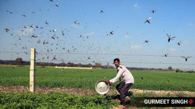 locust-crisis-operations-carried-out-at-37-places-in-11-districts-of-rajasthan-gujarat-and-haryana-till-july-31-english.jpeg