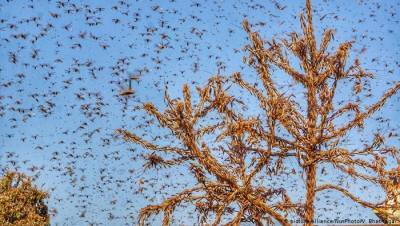 locust-swarm-from-rajasthan-has-moved-towards-haryana-uttar-pradesh-english.jpeg