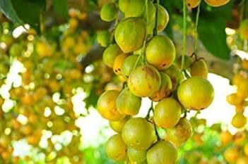 north-eastern-state-exports-burmese-grapes-leteku-to-dubai-english.jpeg