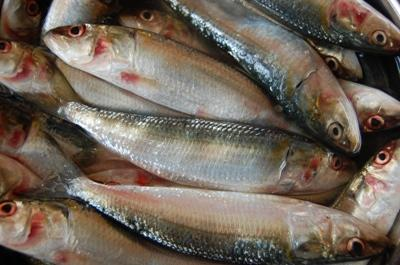 oil-sardine-catch-may-go-down-during-coming-years-cmfri-english.jpeg