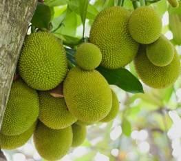 organic-certified-jackfruit-exported-to-germany-english.jpeg