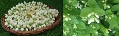 usa-dubai-deities-to-get-hands-on-gi-certified-madurai-malli-flowers-exported-from-tamil-nadu-english.jpeg